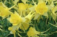 Aquilegia'Yellow queen' Chrysantha