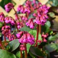Bergenia Wintermarchen Elephant ears