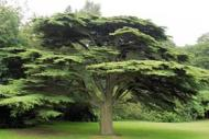 Cedar of the Lebanon tree