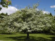 Crataegus crus galli (Hawthorn tree)