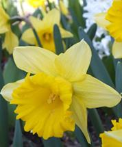 Narcissus Thalia (Small white daffodils)