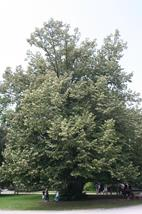 Silver leaved lime tree