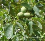 Walnut tree close up